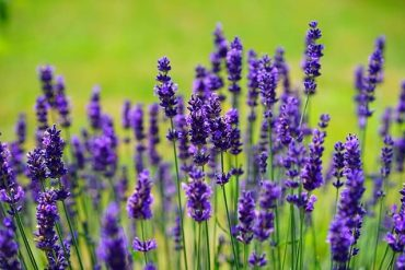 Lavender for sleep